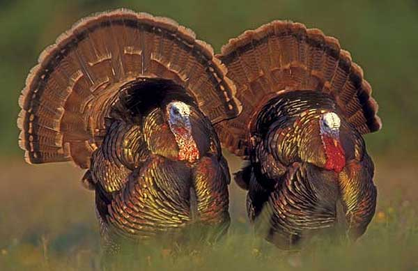 Turkey hunting tips