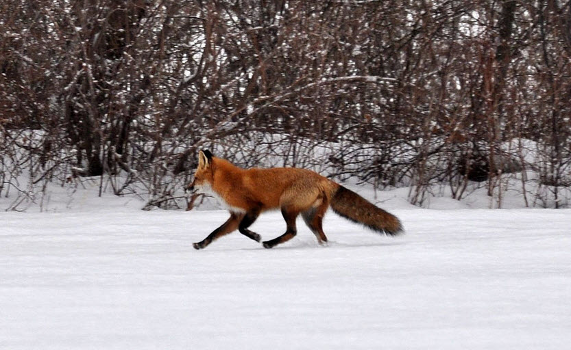 fox hunting in winter