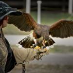 beautiful adult falcon on glove
