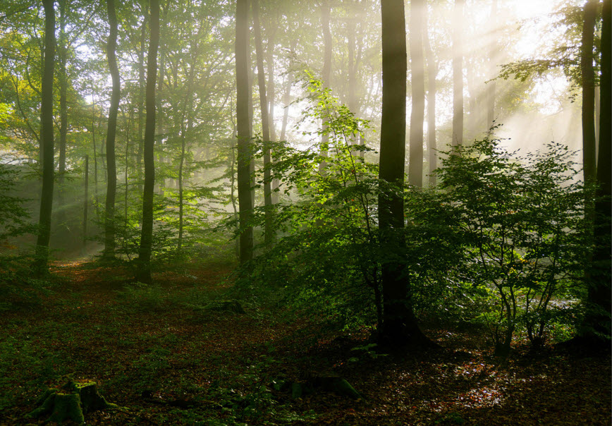 forest wilderness with sun rays among trees