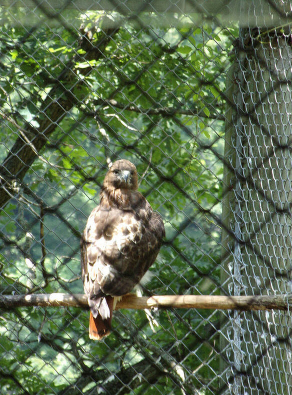 hawk in fencing cage