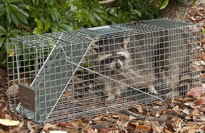 How to bait the raccoon trap