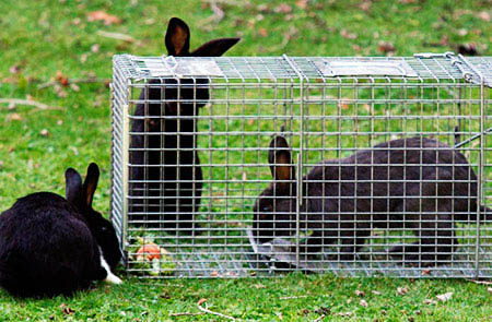 Trapping method to hunt rabbits
