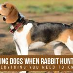 Using Dogs when Rabbit Hunting
