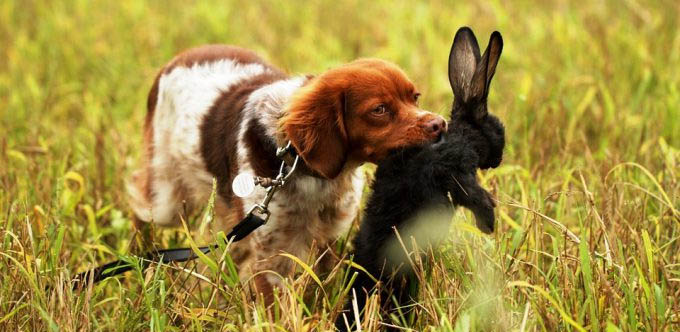 Hunting rabbits using dogs