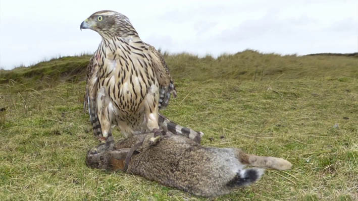 Using falconry to hunt rabbits