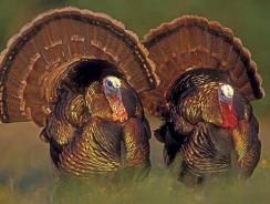 Defensive Wild Turkey Hunting